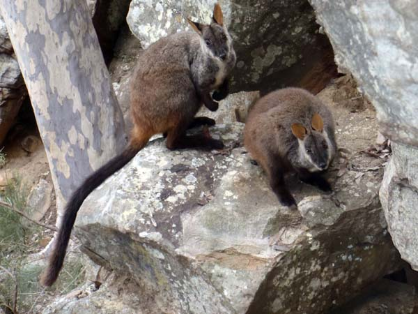 This image has an empty alt attribute; its file name is brush-tailed-rock-wallaby.jpg